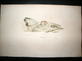 Saint Hilaire & Cuvier C1830 Folio Hand Colored Print. Mouse
